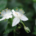 梅雨に咲く花*キュウリの肥大