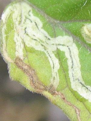 線状の糞痕-トマトハモグリバエ・マメハモグリバエ