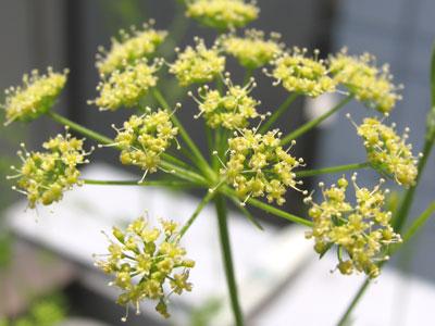 同じセリ科、イタリアンパセリの花