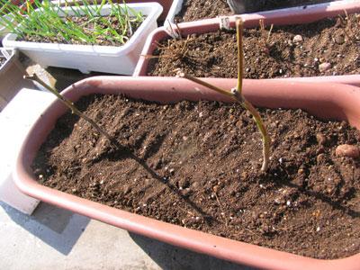 3月、越冬苗を再度プランターに植える