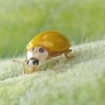 キイロテントウの一生*卵から成虫まで