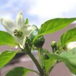 四川唐辛子の白い花・緑の実