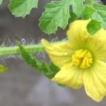 スイカの雄花と雌花*ピンポン玉サイズの実