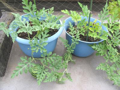 植木鉢でスイカ栽培