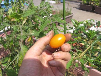 イエローアイコ収穫、最初の一個