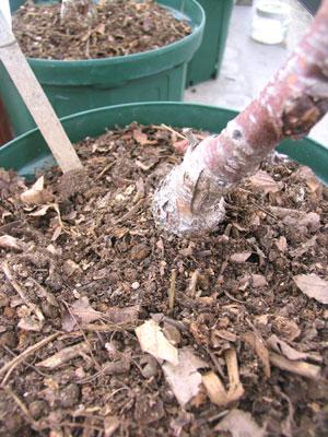 生ゴミ堆肥を、果樹の根元にマルチング