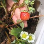真夏にイチゴが生りました