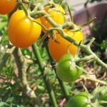 イエローアイコの収穫*元気なこぼれ種トマト