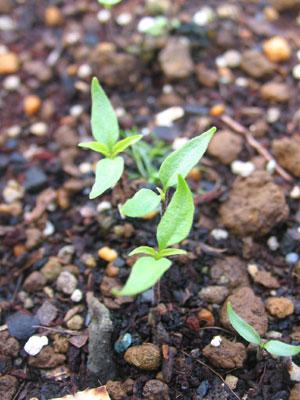ハバネロ発芽から1ヵ月