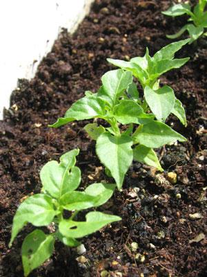 ハバネロ発芽から2ヶ月