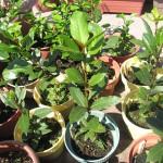 月桂樹の葉で、ローレルインフューズドオイルを作る