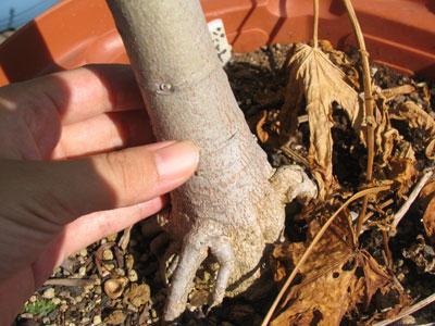幹は直径4センチくらい