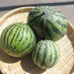 2009年夏・食べ蒔きスイカの収穫