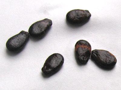 西瓜の採種