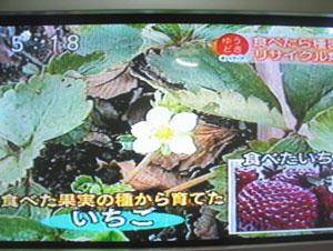 食べ蒔きイチゴ