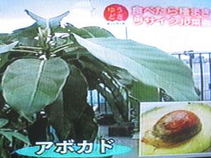 アボカドは、1メートルくらいに成長