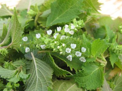 シソの花穂