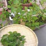 大葉と花穂でシソ味噌作り