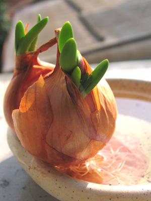ベルギーエシャロットの発芽
