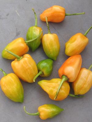 ハバネロ、今年最期の収穫