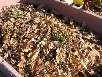 枯れた西洋ワサビの葉で、土を覆って防寒対策