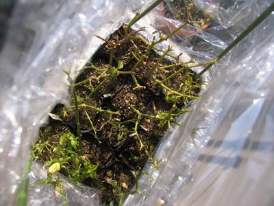 越冬の為、プランターから、小ぶりなポットに植え替えました