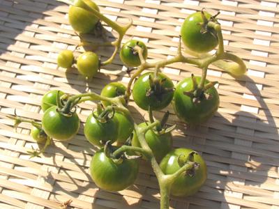 未熟な実を収穫