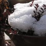 クランベリー雪の朝