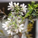 再生パクチーの花*葉はチキンライスのトッピングに
