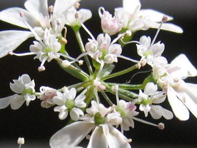 中心部の小さな花弁は、薄いピンク色