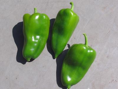 緑のピーマンを収穫