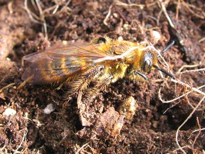 土の中からハチが出てきた!
