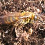土よりいずる黄金のハチ