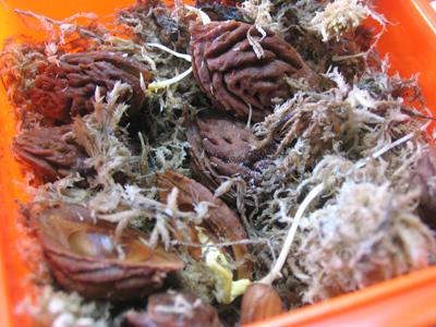湿ったミズゴケの中で発芽した、ネクタリンの種