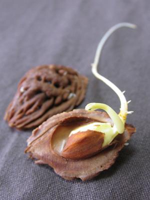 ネクタリン(ズバイモモ)の種子