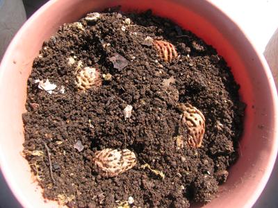 発芽したタネを、鉢に植える