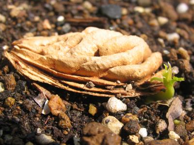 ネクタリンの発芽