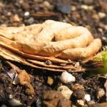 食べたネクタリンの種が発芽