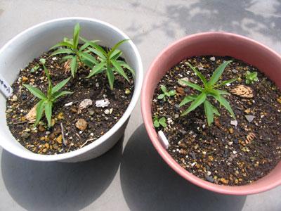 発芽から1ヵ月、ひろがる緑の葉