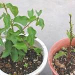 プルーン発芽から89日、右の鉢は葉っぱが全部虫に食われた!