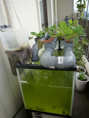水槽は、見事に藻藻藻藻――――!