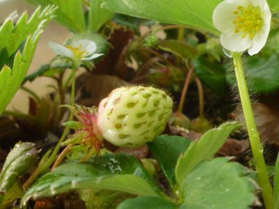 白い花が咲き、小さな実がふくらみはじめたところですね