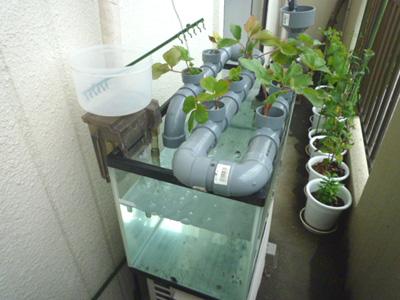 ベランダでイチゴの水耕栽培にチャレンジ!