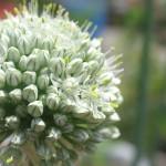 ベルギーエシャロットの花