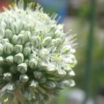 ベルギーエシャロットの開花