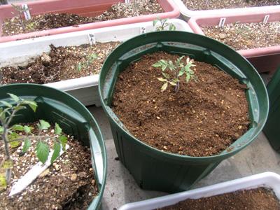 発芽から二ヶ月、さらに大きな鉢に植え替え