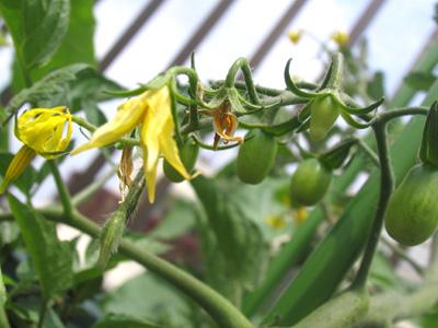 ミニトマトに、小さな青い実が!