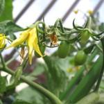 2010年食べまきミニトマト、トリニティの栽培記録2/2(結実から収穫まで)