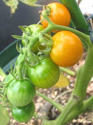 ぼちぼち色づきはじめるミニトマト