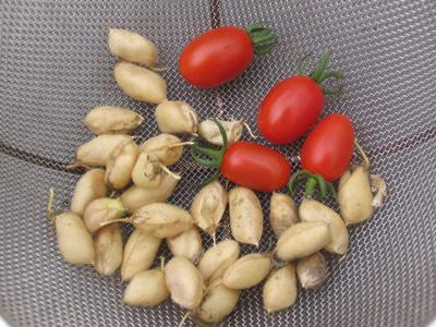 赤いミニトマト、ドルチェの初収穫